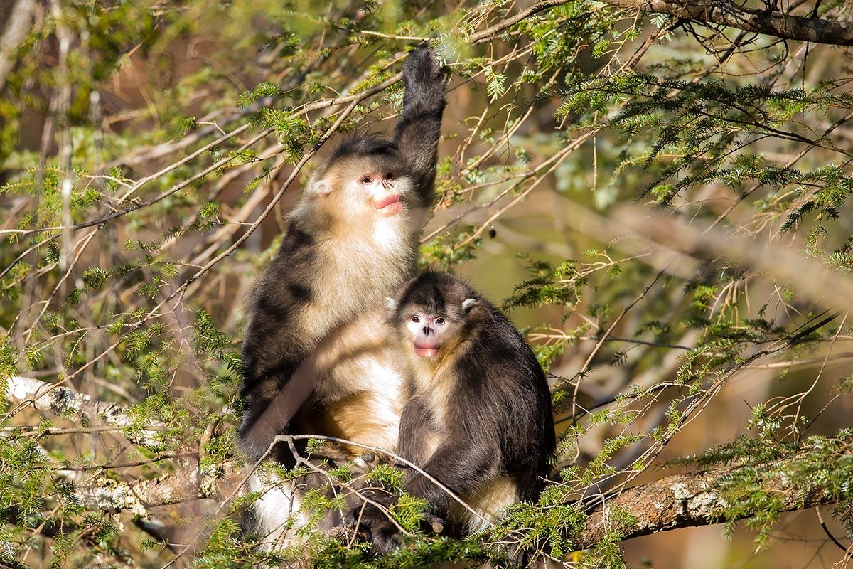 国家一级保护动物一滇金丝猴